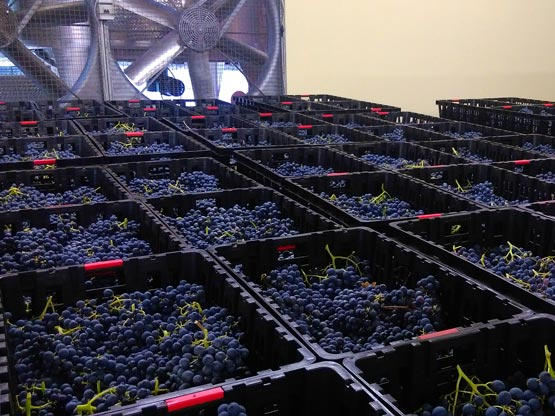 Selecting the grapes for drying